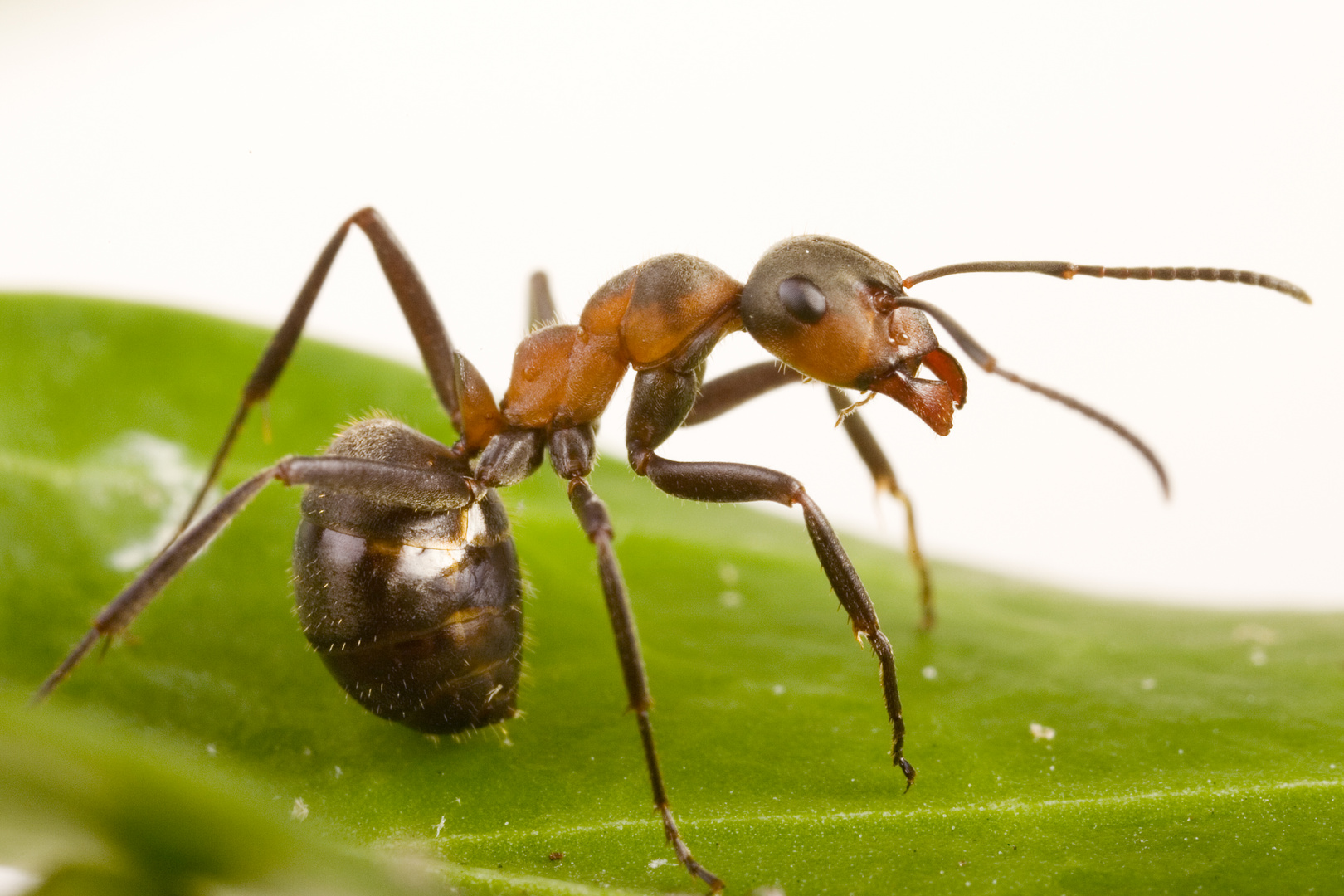Waldameise (Formica rufa) - wood ant (Formica rufa)
