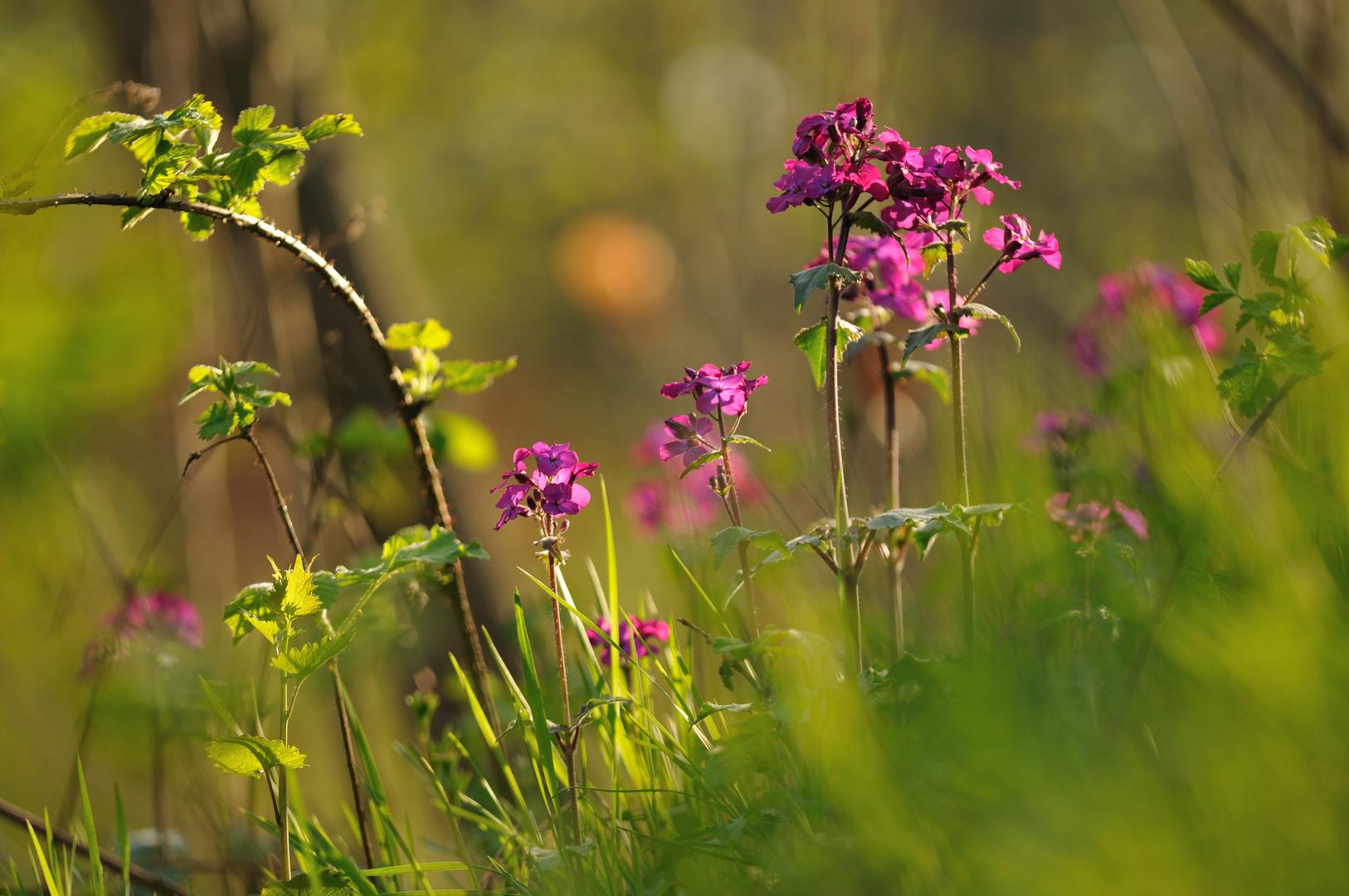 Waldblumen am Abend