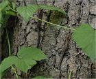 Waldeidechsen im Spreewald 1