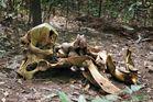Waldelefant oder ....