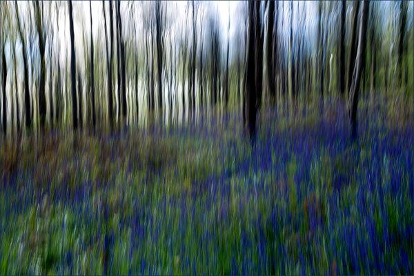Waldhasenglöckchen