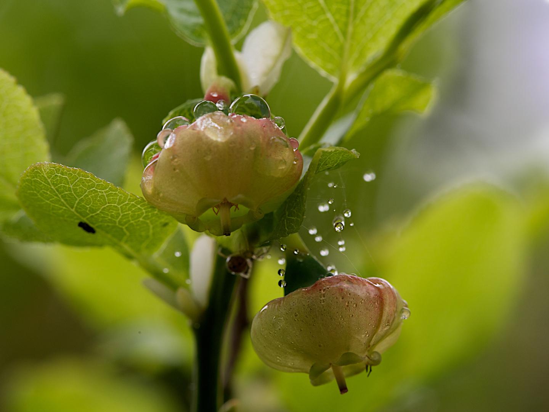 Waldheidelbeerblüte im Maienregen