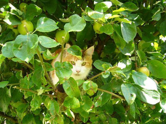 Waldkatze ?! Eher Hauskatze im Baum...