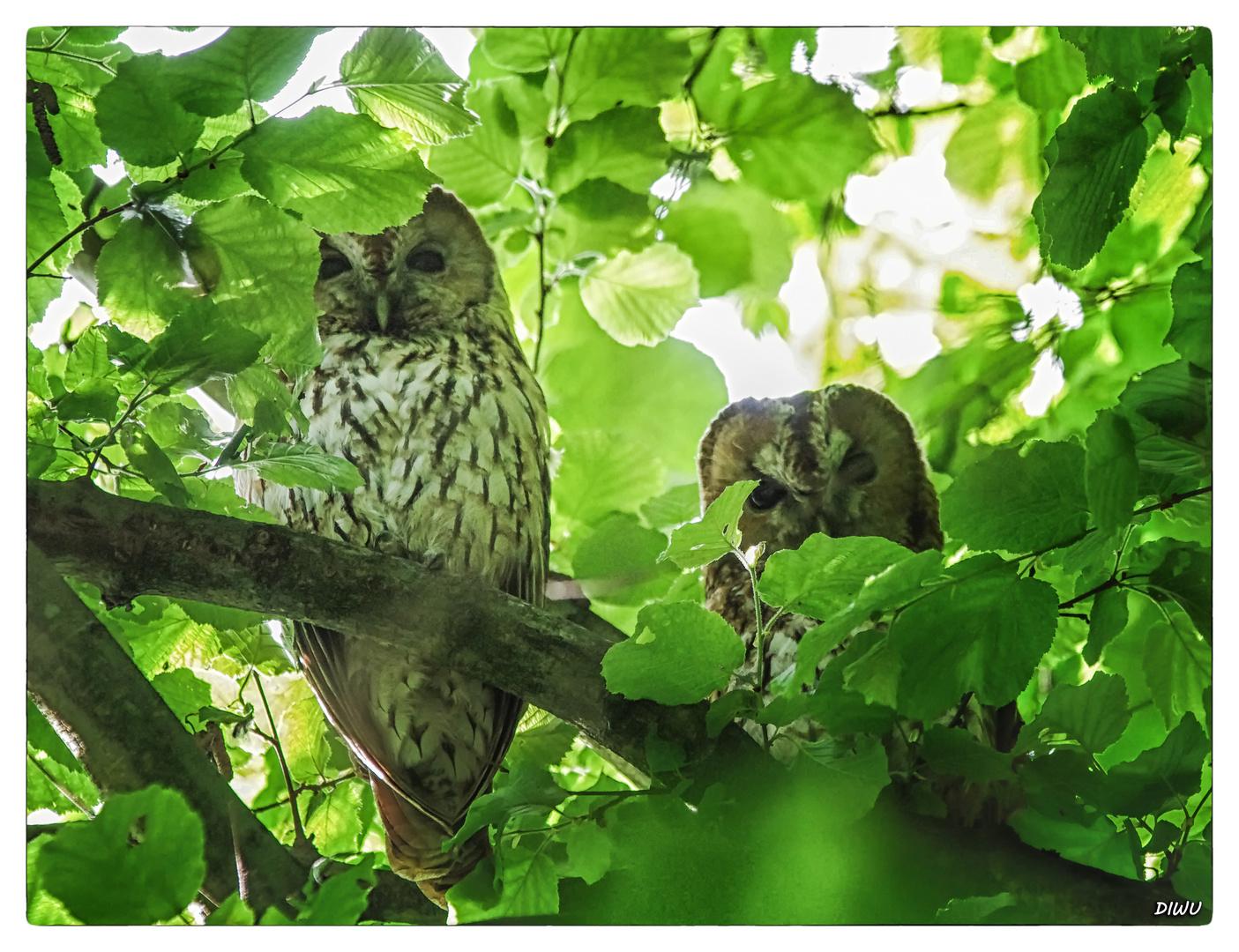 Waldkauzpaar in meinem Haselnussbaum