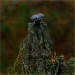 Waldmistkäfer