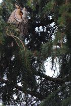 Waldohreule im Vorgarten2
