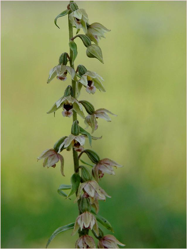 Waldrand Orchidee