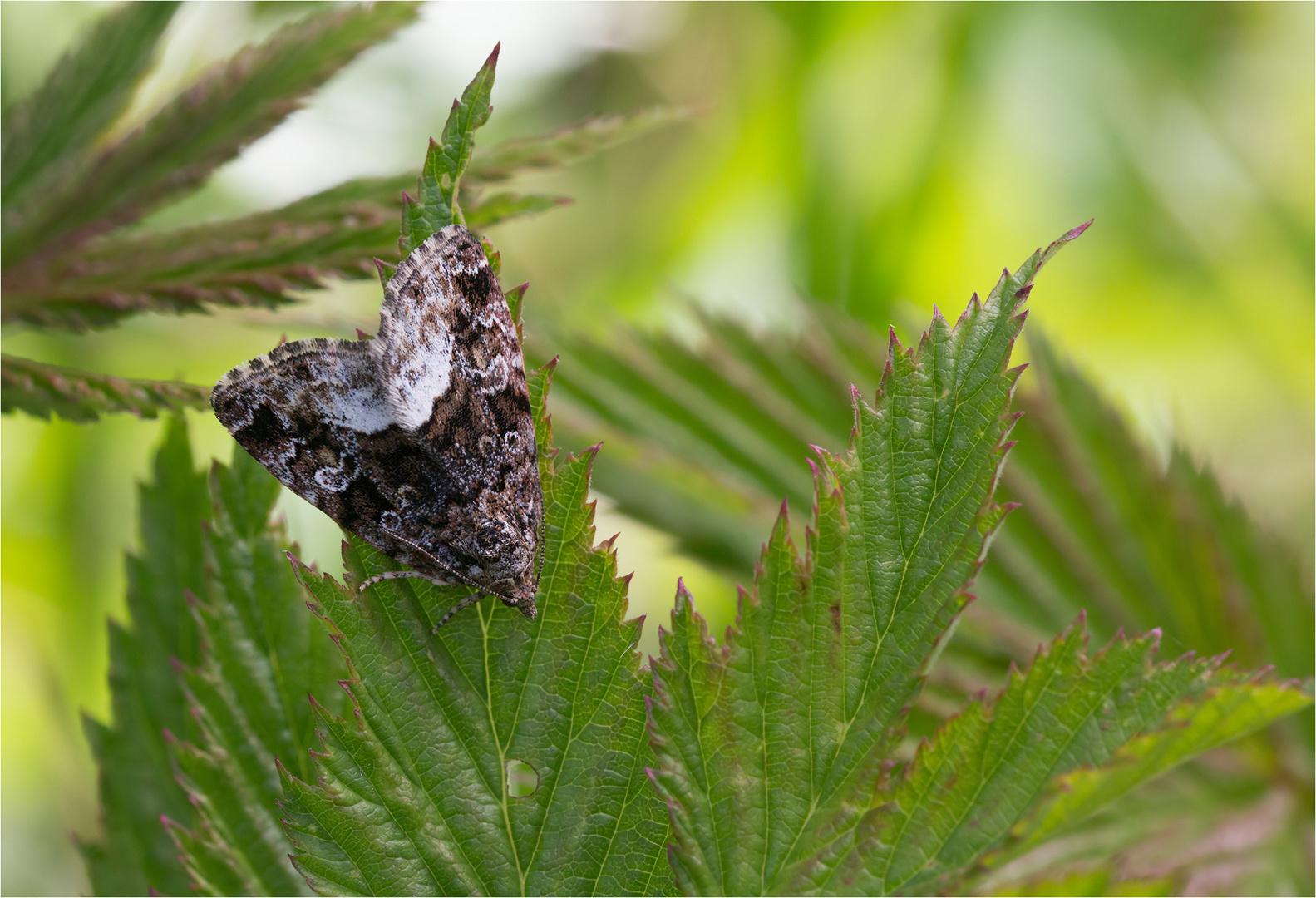 Waldrasen-Grasmotteneulchen