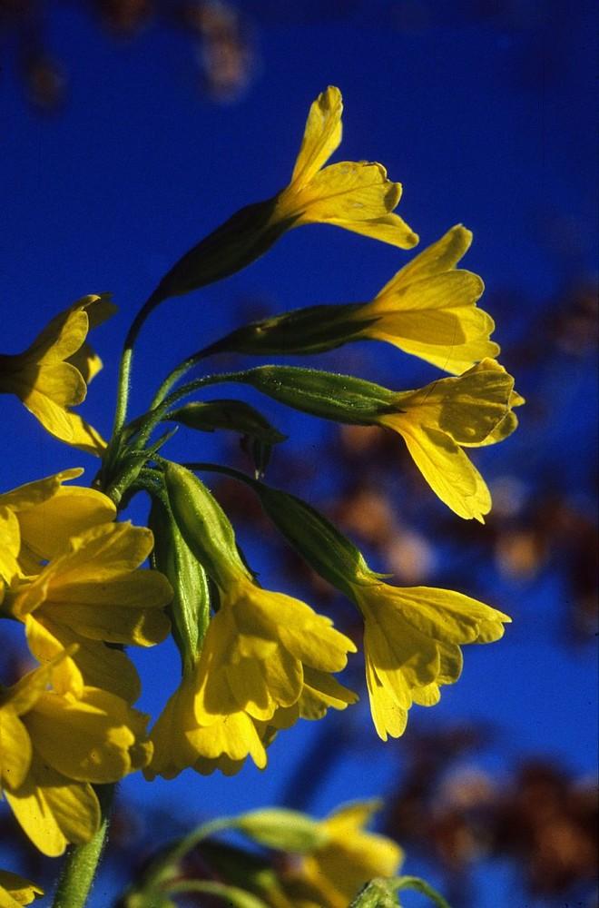 Waldschlüsselblume