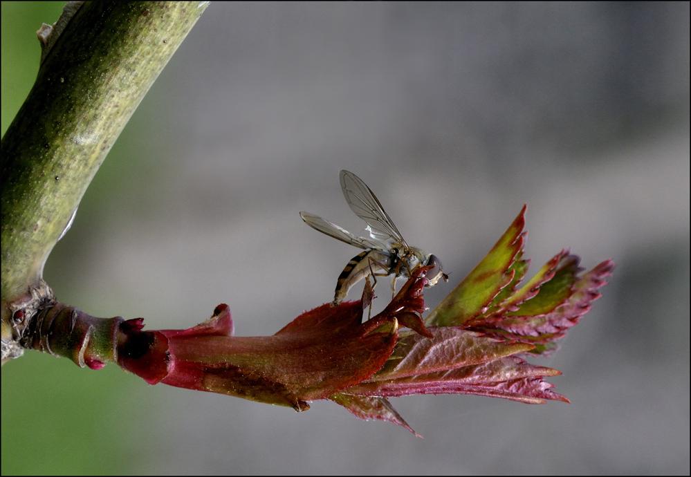 Waldschwebfliege