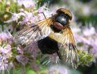 Waldschwebfliege, Volucella pellucens