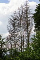 Waldsterben wegen Borkenkäfer