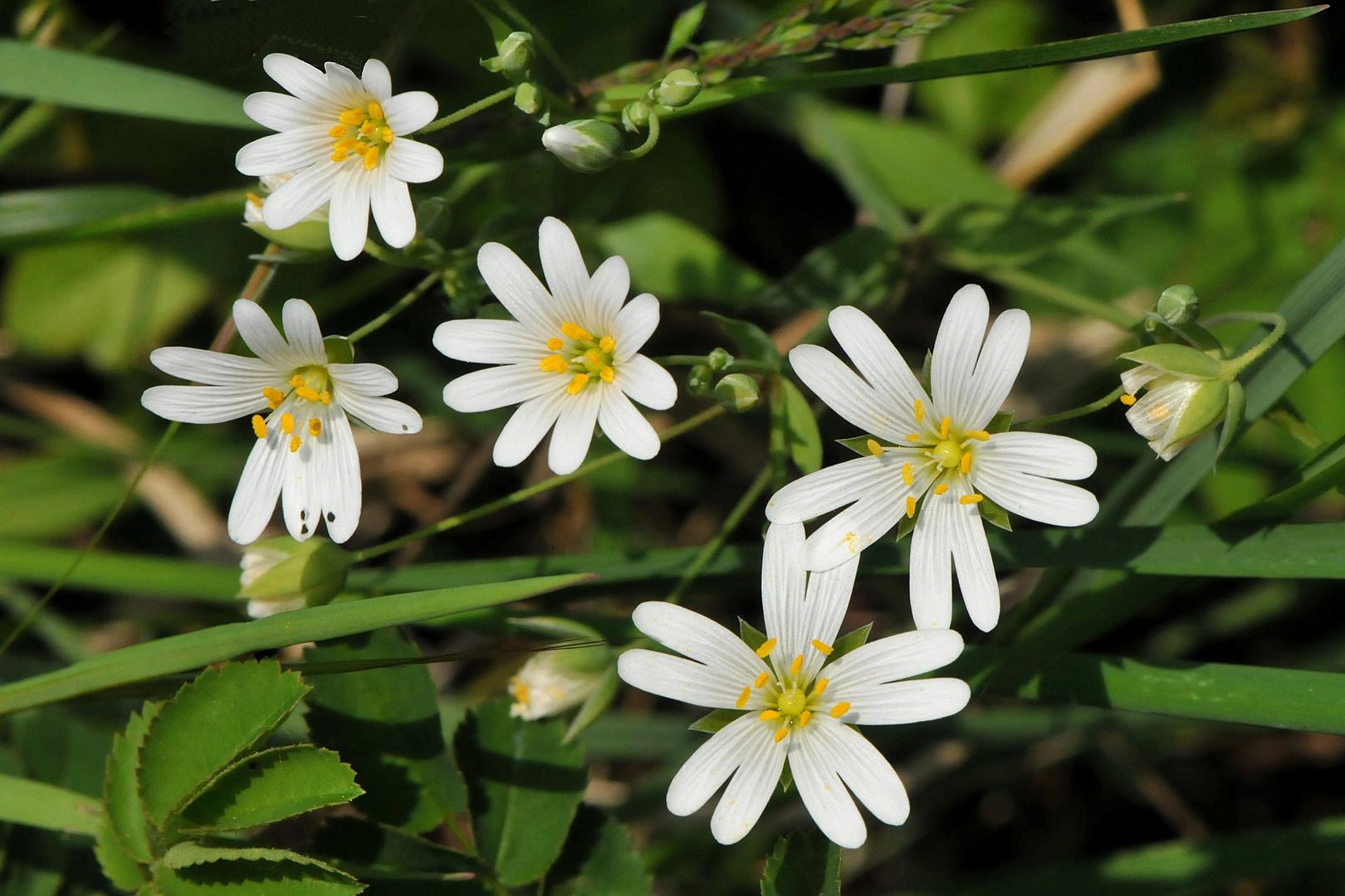 Waldsternmiere, Große Sternmiere (Stellaria holostea)
