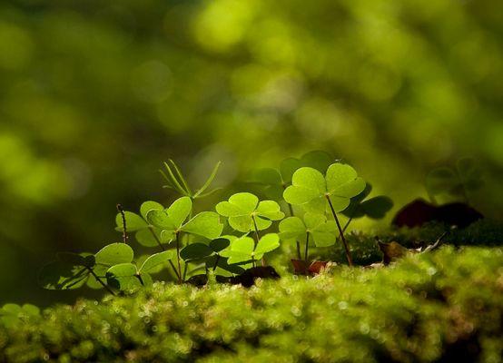 Waldstimmung Klee
