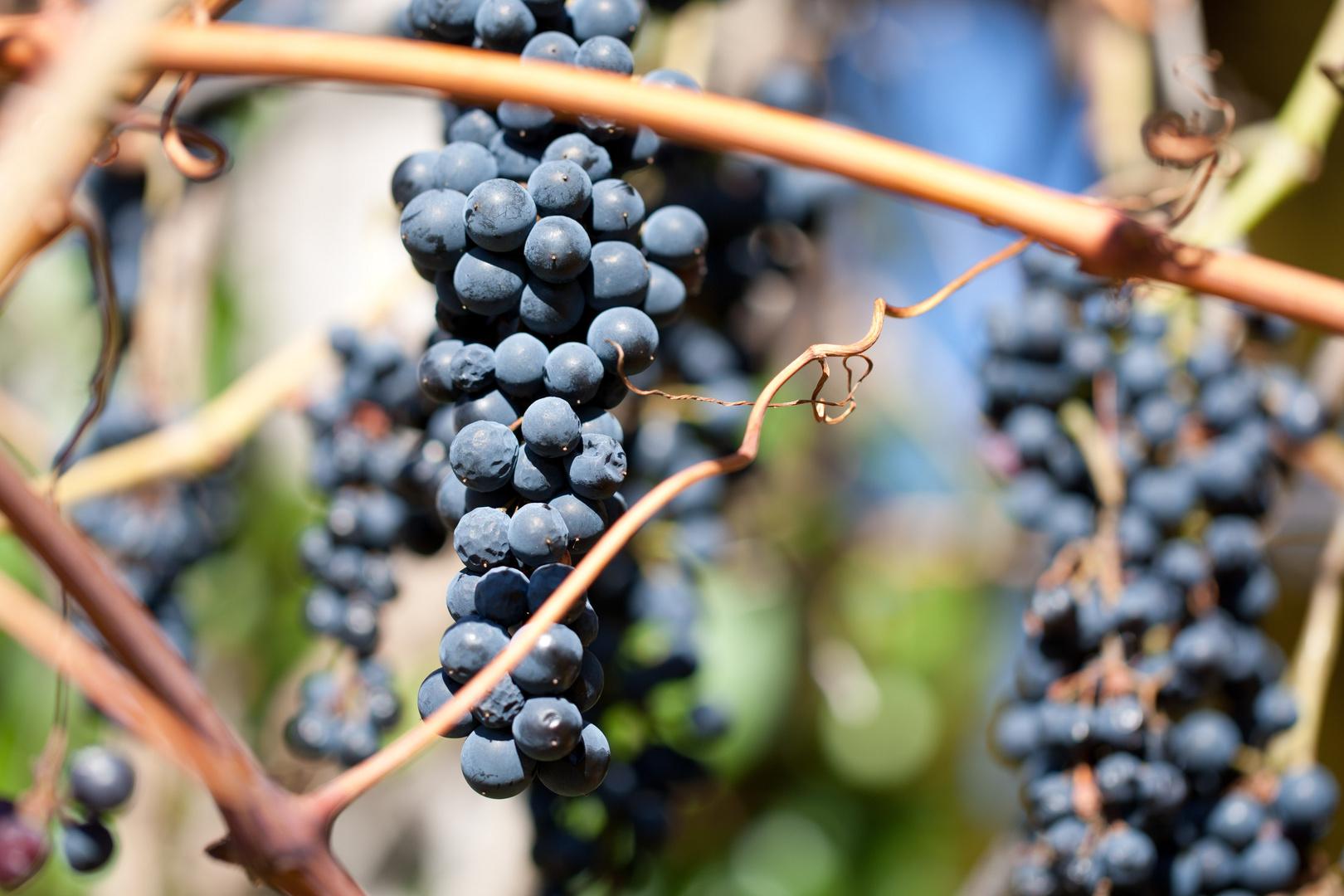 Waldviertler Weintrauben