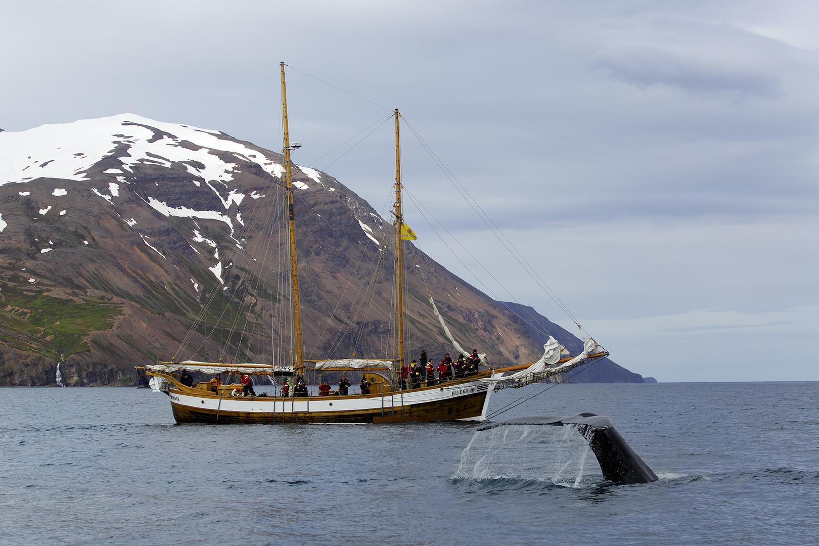 Wale bei Husavik Island