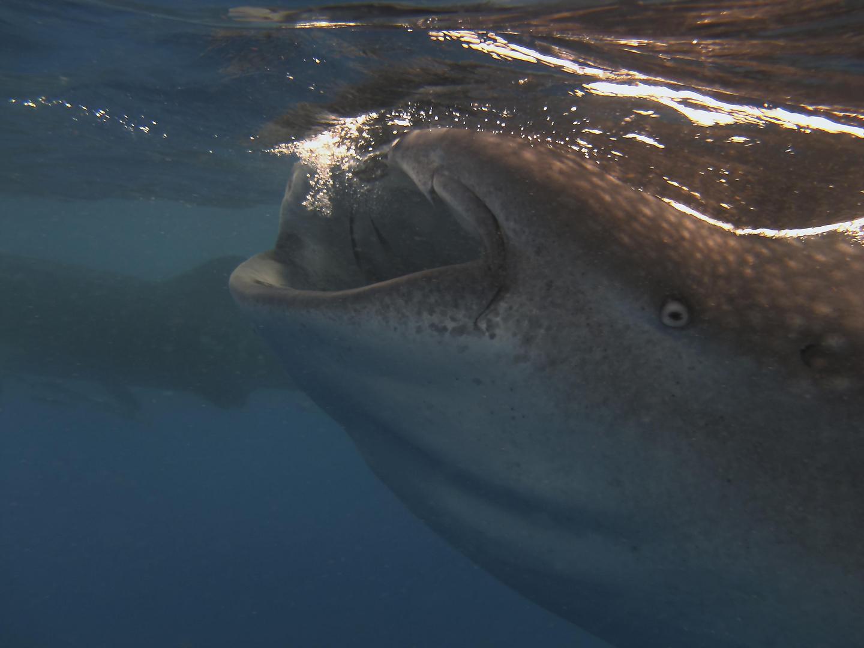 Walhai beim Lunch