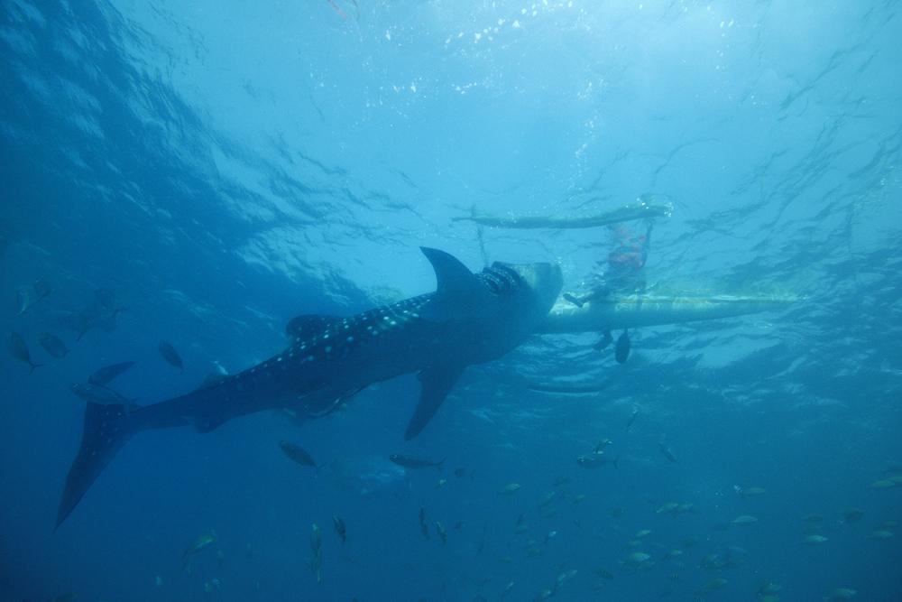 Walhai-Fütterung Insel Cebu