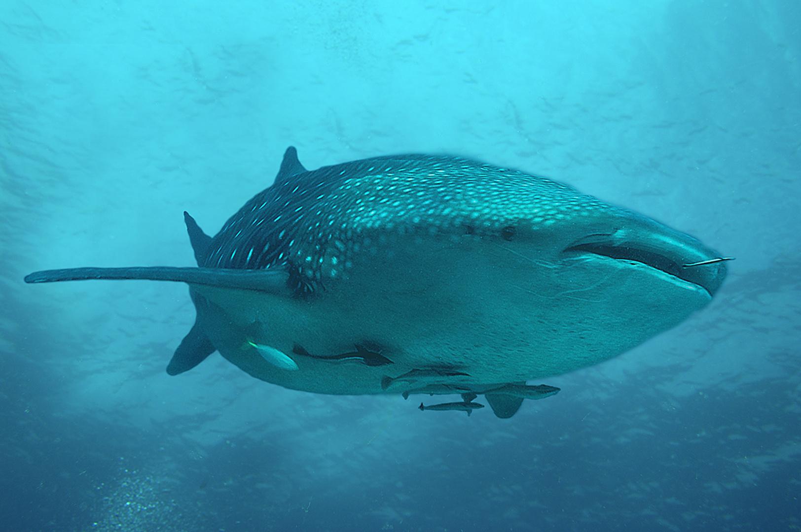 Walhai in der Bucht von Leyte, Philipinen