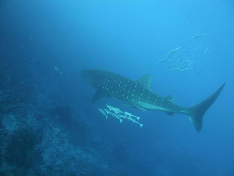 Walhai vor Hurghada