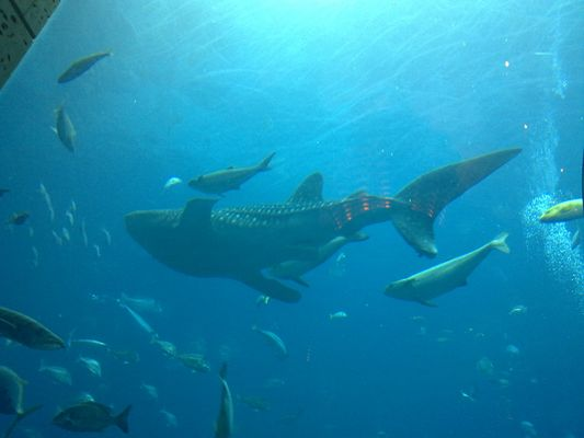 "Walhai (Whale Shark) ""Sammy"", Palm Jumeirah Atlantis Hotel Aquarium, Dubai, V.A.Emirate."