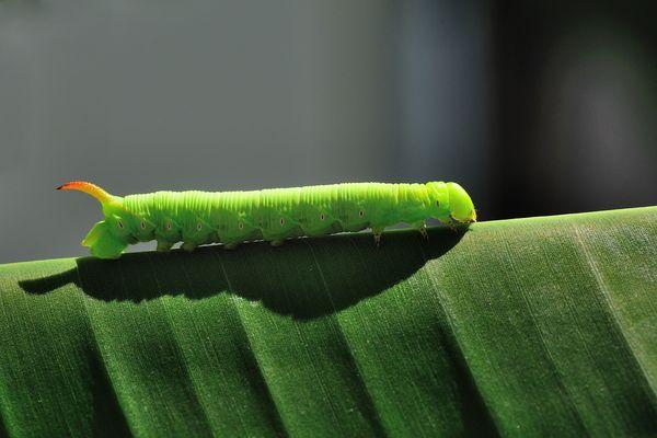 Walk on Banana Leaf (Manduca sexta)