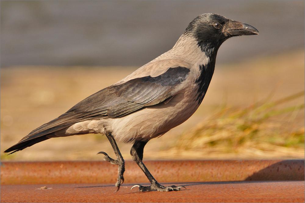 Walking Hooded Crow