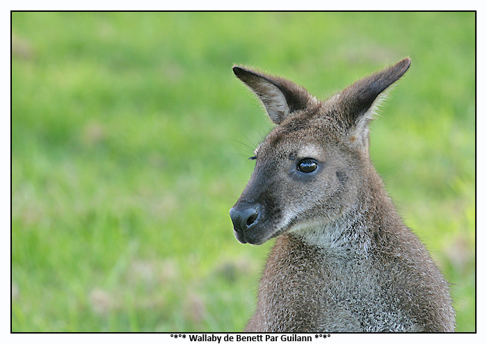Wallaby de Benett