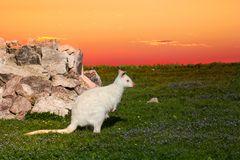 Wallaby hüpft in den Sonnenuntergang