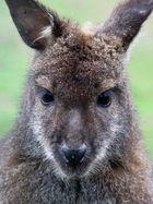 Wallaby (Zwergkänguru)