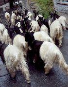 Walliser Ziegen (I)
