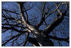 Walnußbaum
