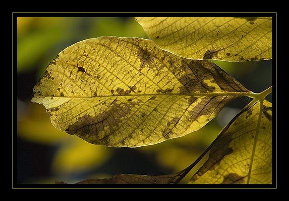 Walnussblatt durchleuchtet