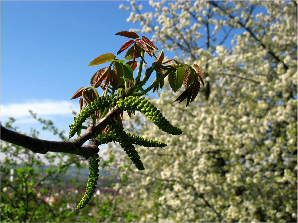 Walnussblüte