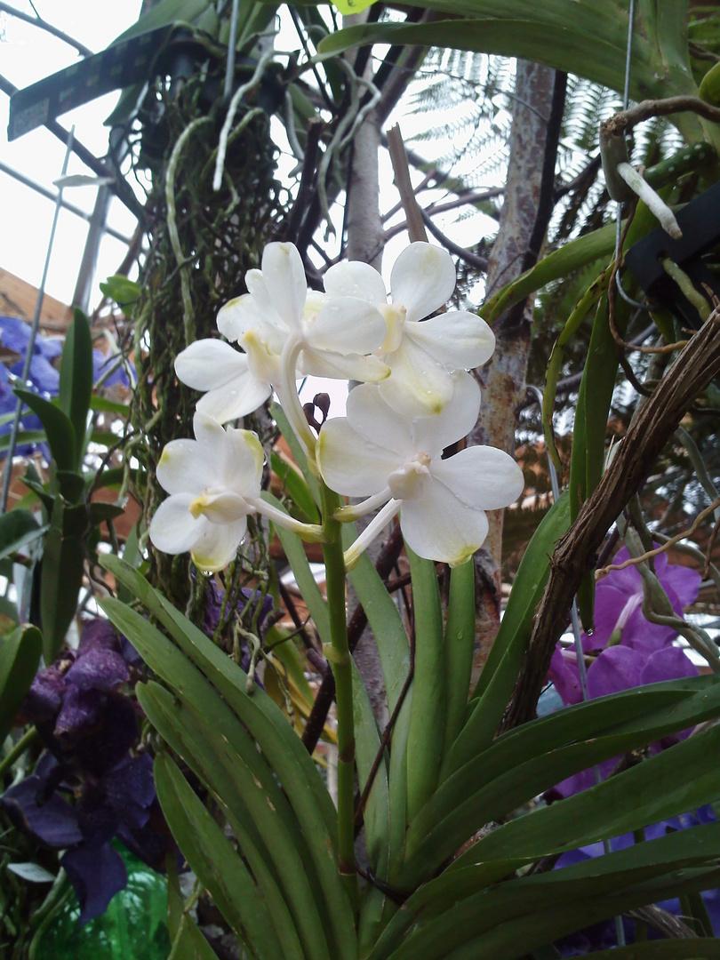 Wanda Orchidee