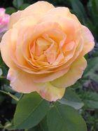 Wandelbare Rose