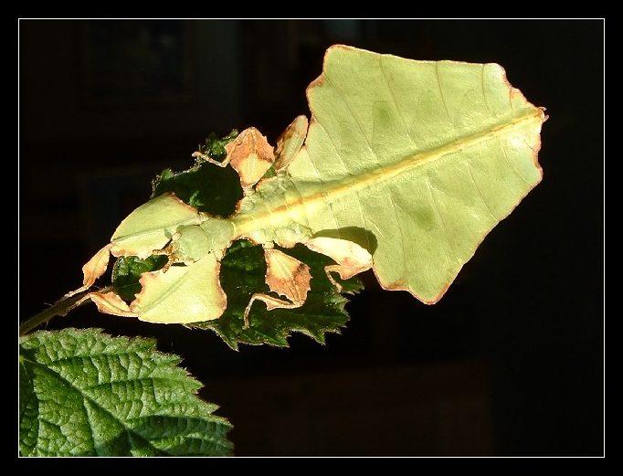 Wandelndes Blatt (Phyllium giganteum)