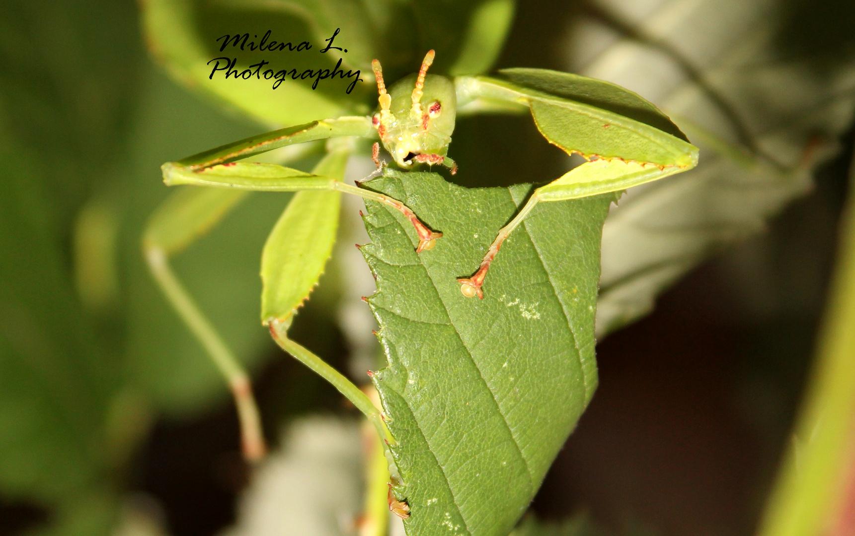 Wandelndes Blatt (Phyllium philippinicum) beim fressen
