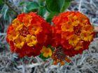 Wandelröschen in voller Blüte