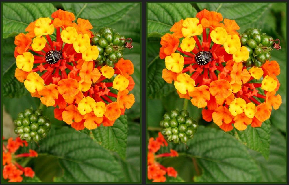 Wandelröschen mit Käfer