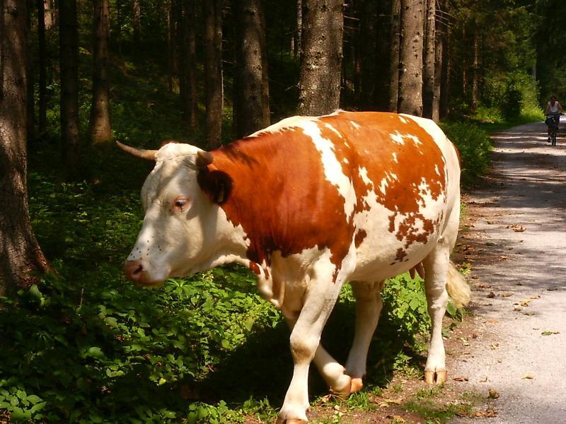 Wander-Kuh