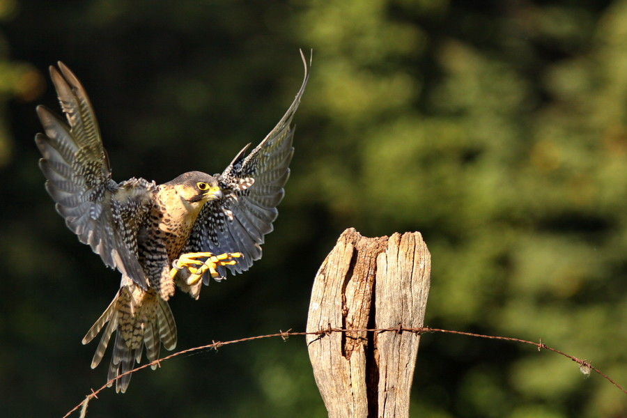 Wanderfalke im Anflug ( Falco peregrinus )