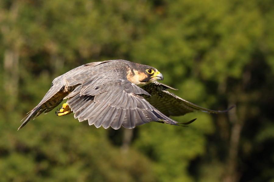 Wanderfalke im Flug ( Falco peregrinus )