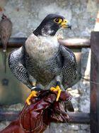 Wanderfalke,Falco peregrinus,10 Jahre Alt,male