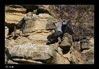 Wanderfalken Paarung