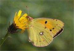 Wandergelbling (colias croceus).