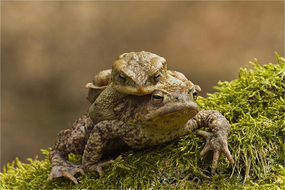 Wanderung der Amphibien ( 1 )