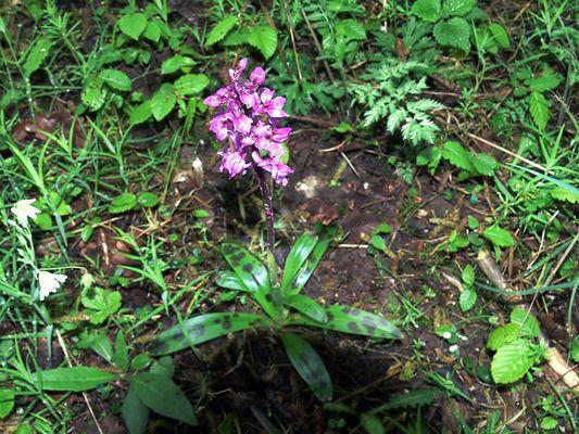 Wanderung zum Vulkan Kalem (7) Orchidee am Wegesrand