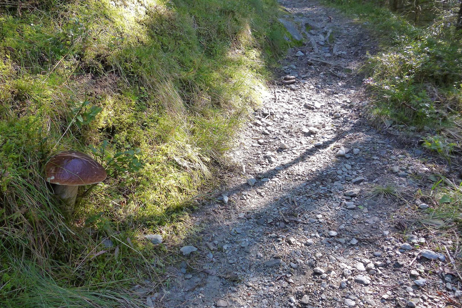 Wanderweg mit Fichten Steinpilz