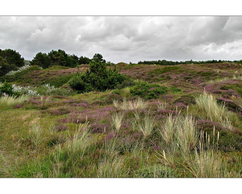 Wangerooge - Heidelandschaft